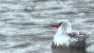 Red billed Tropicbird