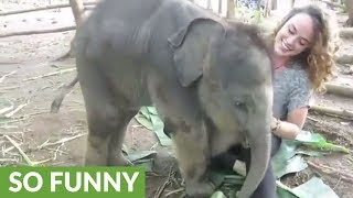 Cute baby elephant tries to sit on woman's lap