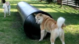 かい(北海道犬)と遊びたいせら(サルーキ)♪ でも、かいはあまり相手...