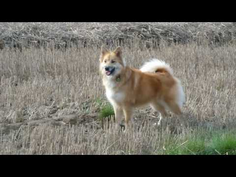Icelandic Sheepdog Alisa, watchdog of the fields
