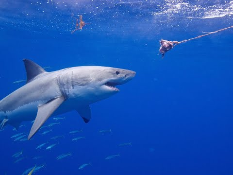 القرش الأبيض .. علاج لأمراض خطيرة  - 13:55-2019 / 2 / 20