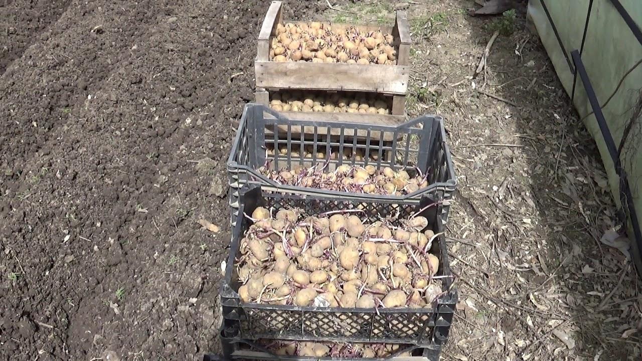 Cultivarea cartofului