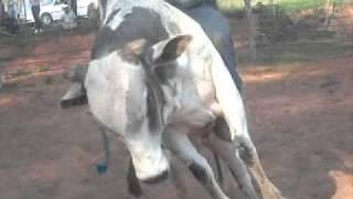 treinamento em touros Lucianópolis