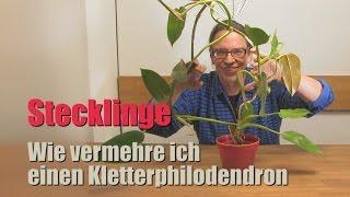Stecklinge als Geburtstagsgeschenk - DIY - Vermehren eines Kletterphilodendron - Ein Kinderspiel