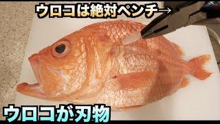 """【閲覧注意】ウロコが凶器な魚""""ヨロイダイ""""をさばいたらやっぱり指切りまくった。。。"""
