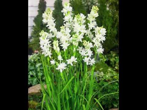 Hasil gambar untuk cara menanam bunga sedap malam dalam ppot