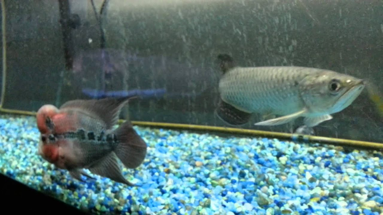 arowana vs flowerhorn lol - youtube