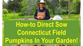 Tips and Ideas on How-to Direct Sow Connecticut Field Pumpkins in Your Vegetable Garden