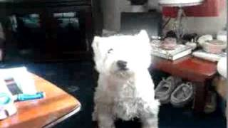 "Jack The 11yr Old Talking Westie Says ""i Want One"""