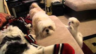 Bossy Dog - Shih Tzu Won't Stop Barking or Hitting!