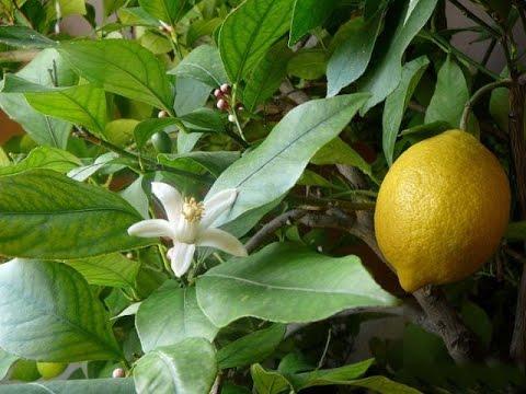 Лимон Lemon комнатный - виды: павловский, мейера