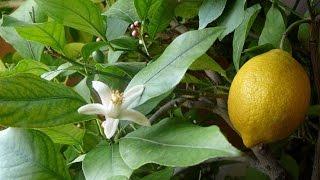 Комнатный лимон. Выращивание плодов и размножение(Комнатный лимон. Выращивание плодов и размножение https://youtu.be/ueDe-P3jGNs Цитрусовые в домашних условиях. Лимон..., 2015-05-06T11:17:40.000Z)