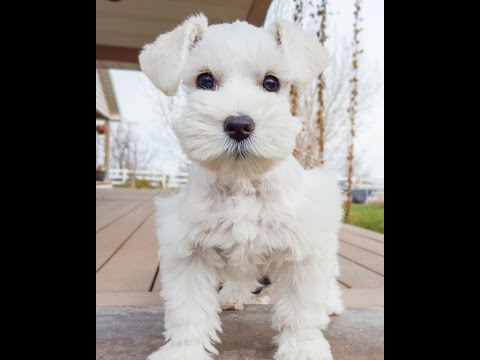White Miniature Schanuzer Puppy in Training - SO CUTE!!