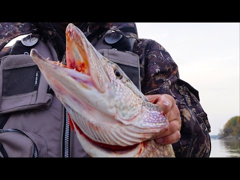 Видео ловля шуки на паралон