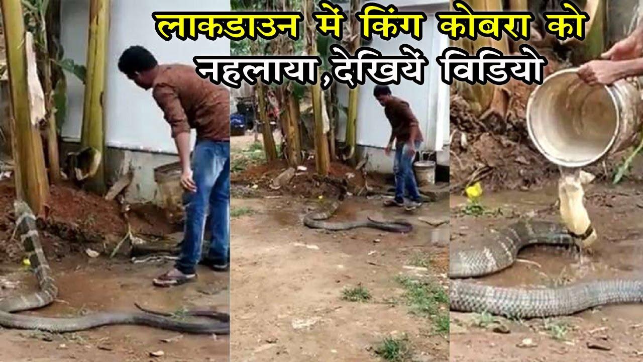 शख्स ने गर्मी में किंग कोबरा को ऐसे ...