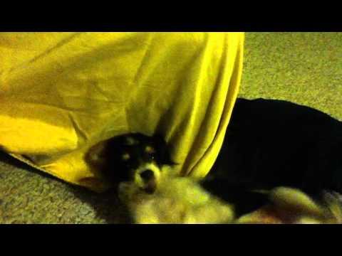 Cooper, The Chorkie, full of energy