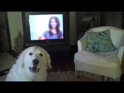 Pyrenean Mountain Dog Singing to Haircutters Commercial