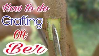 how to do grafting on ber/ber grafting/berki  Kalam/ziziphus mauritiana/indian jujube grafting