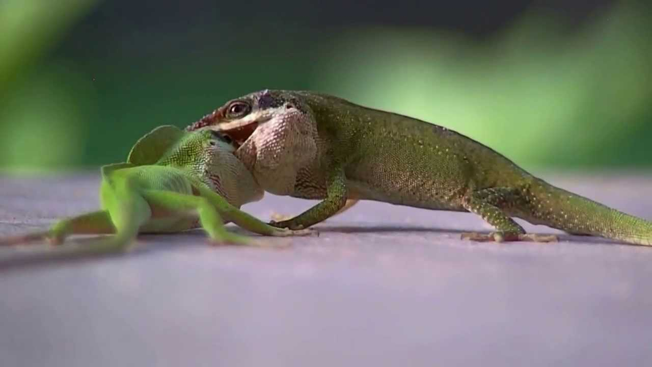 two green anole lizards showing dominance youtube