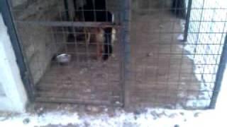 pameten nemški ovčar- PRISON BREAK