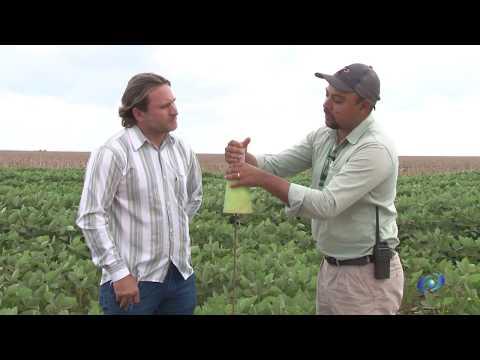 AMAPA - plantio do algodão safra 19/2020 no Estado do Maranhão