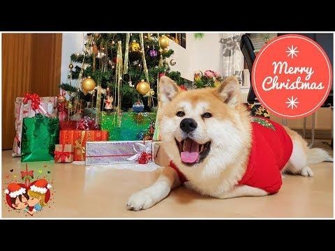 Akita Inu - December Story (秋田犬)