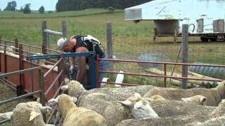 Treating sheep for internal parasites