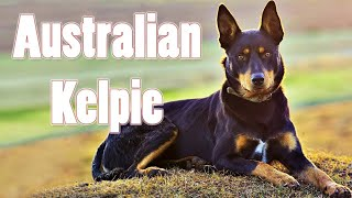 Owning The Bravest Dog In The World | Funny Australian kelpie Puppies Compilation 2021