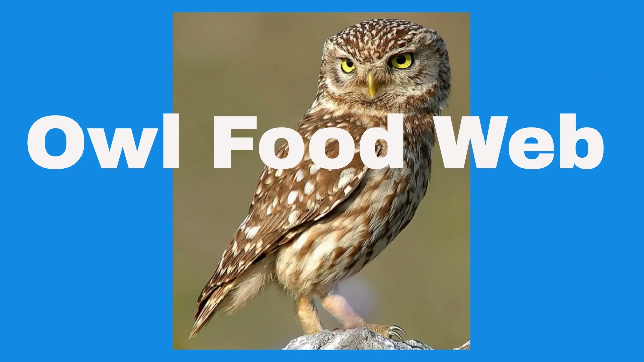 Owl food in hindi best food 2017 owl symbolism what does it mean when you see an exemplore biocorpaavc