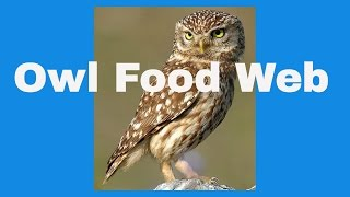 Owl Food Web