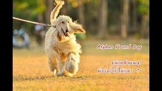 Afghan Hound puppy whines สุนัขอัฟกันฮาวด์จอมขี้บ่น! [คนสัตว์หมา]