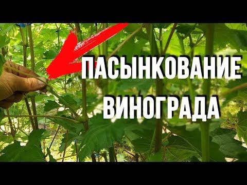 Пасынкование виноградных кустов Удаление пасынков на винограде