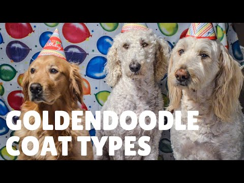 Goldendoodle Puppy Coats and How To Predict Coat Type