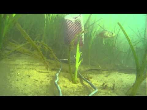 Studland Bay Marine Life Bait Camera 28/8/15 Big Blue UK