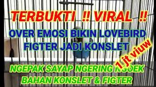 Download lagu TERBUKTI !! VIRAL!! PANCINGAN OVER EMOSI BISA BIKIN LOVEBIRD FIGTER JADI KONSLET