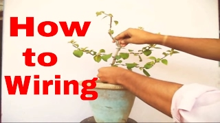 How to Wire a Bougainvillea // Mammal Bonsai