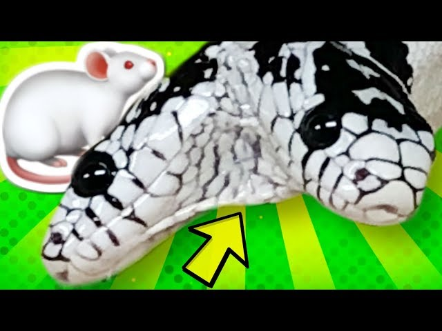 TWO HEADED SNAKE EAT YET?? ERIC is in BIG TROUBLE!!! | BRIAN BARCZYK