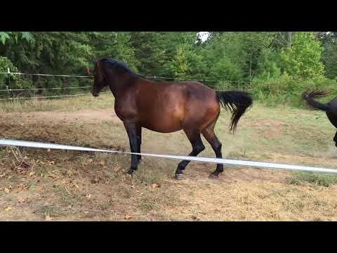 MRM Black Magic - Pasture Breeding - Courting a Mare - Morgan horseKaynak: YouTube · Süre: 5 dakika15 saniye