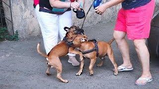 😊Щенкам весело. Стаффордширский бультерьер. Staffordshire Bull Terrier.