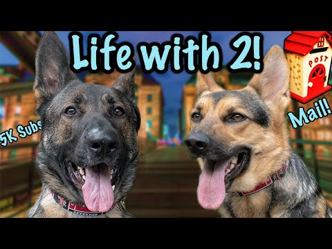 True Life with 2 German Shepherds! Accepting Mail!