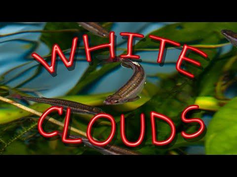 WHITE CLOUD MOUNTAIN MINNOW FRY