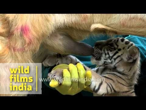 Tiger Cub Suckled By A Goat!