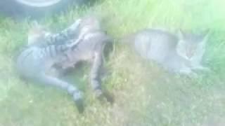 Нереально страшные коты. Разборка у Газели