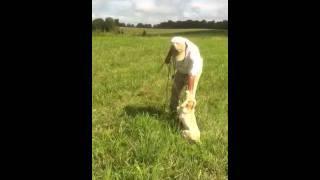 Pindwood Kennel Labrador Retriever Puppy Training