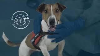 الكلب بايلو يساعد الجمارك السعوديه في الحد من انتشار فيروس كورونا