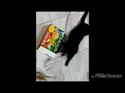 FUNNY CATS PLAYING VIDEO| Meaow Cats