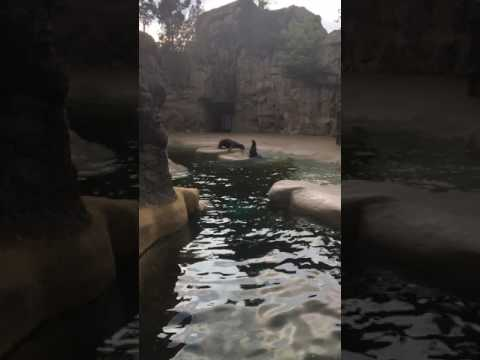 Brookfield Zoo seals fighting?!