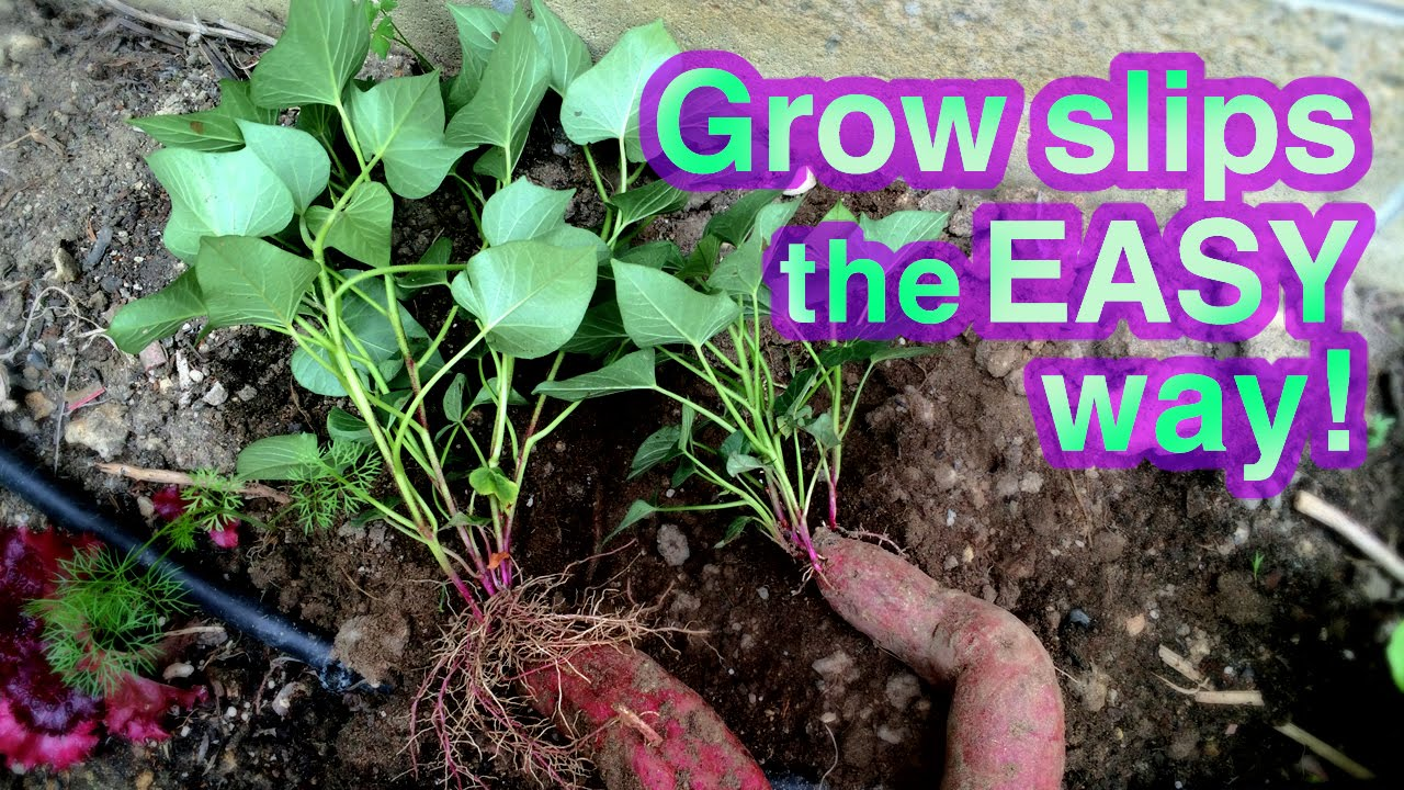 How To Grow Sweet Potato Successfully It S Super Easy Youtube