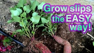 How to Grow Sweet Potato Successfully -- It's Super EASY!