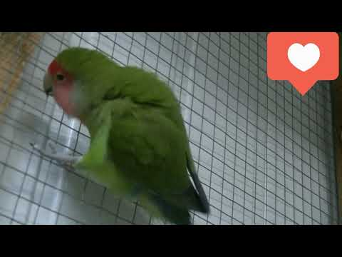 Проявление агрессии у самки попугая неразлучника.